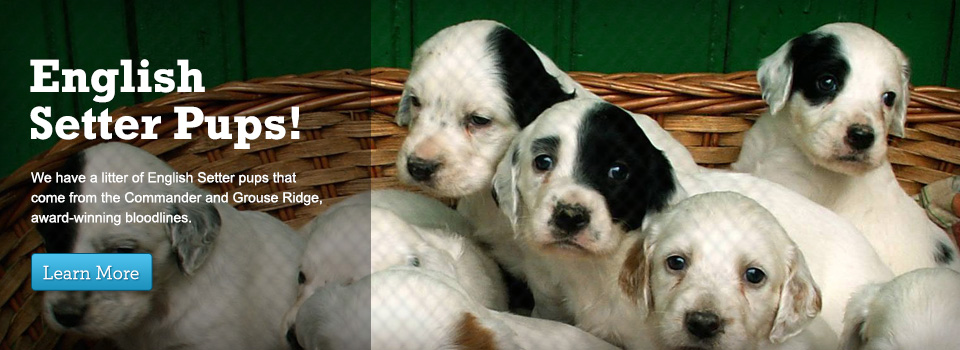 English Setter Pups for Sale